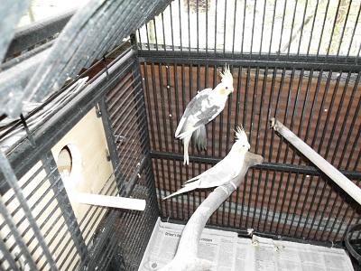 Cockatiels Parrots